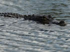 2 alligators found eating dead body in FL canal