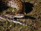 Win prizes for helping the FWC remove pythons