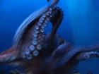 Climate change might be helping octopuses