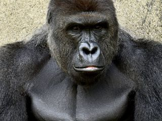 Father in Cincinnati gorilla incident criticized