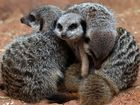 Meerkats are actually pretty violent. Who knew?