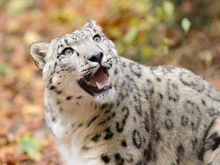 Humans are killing snow leopards for revenge