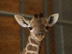 Giraffes put on extinction watch list