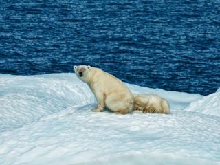 Polar bear population declining as sea ice melts