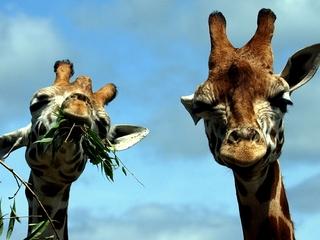 Giraffes are under threat of extinction
