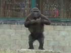 Gorilla youngster has quite the attitude